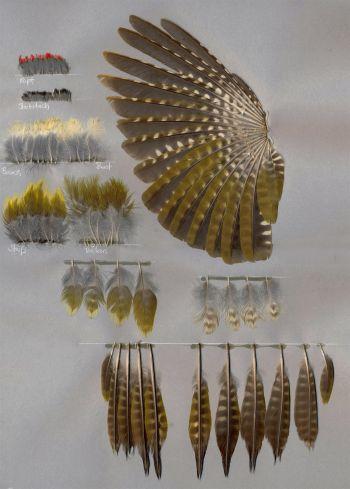 Bild von Federn der Art Picus viridis (Grünspecht)