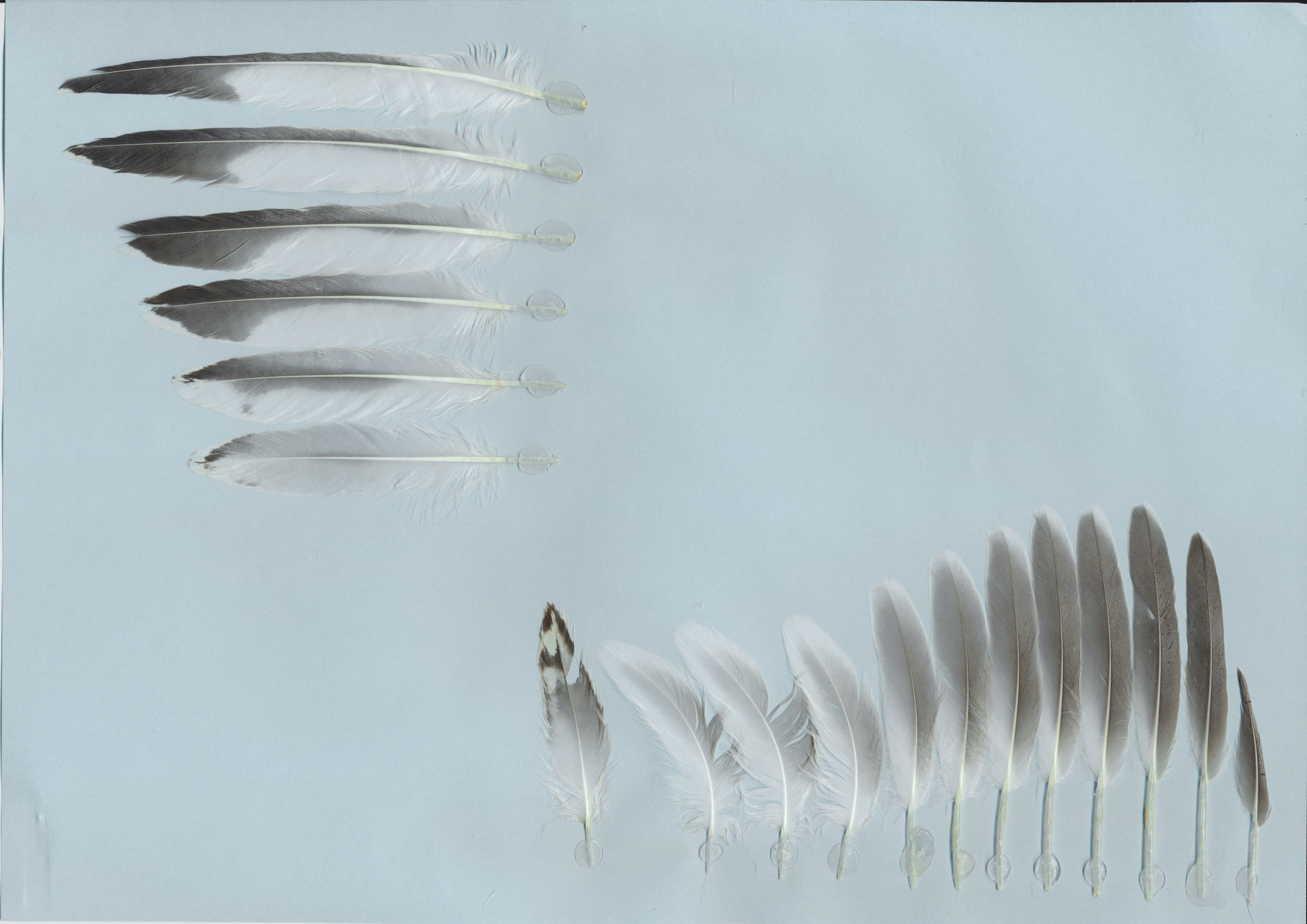 Sandwich Tern Thalasseus Sandvicensis Feathers On Featherbaseinfo