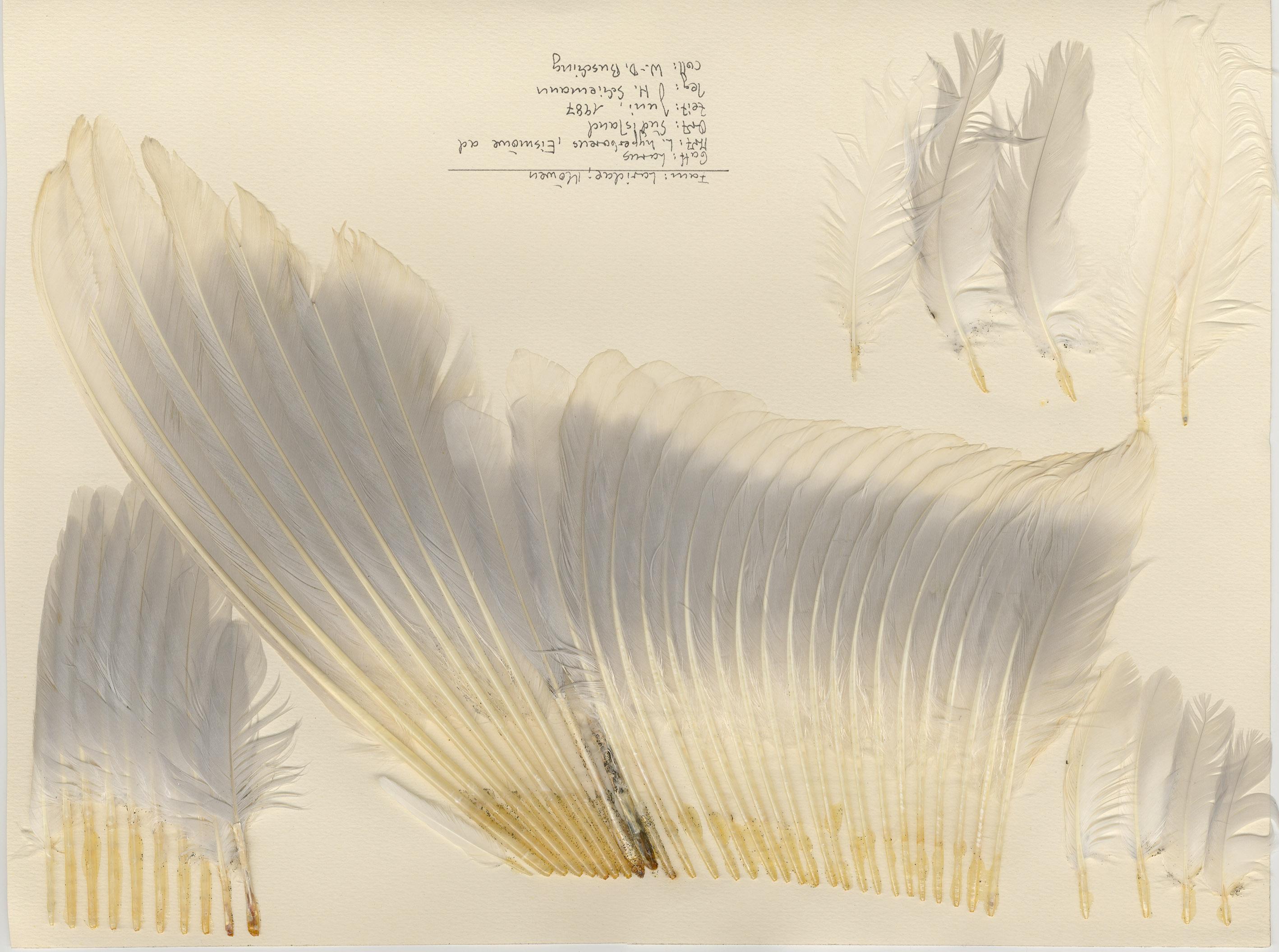 Glaucous Gull (Larus hyperboreus) - Feathers on featherbase info