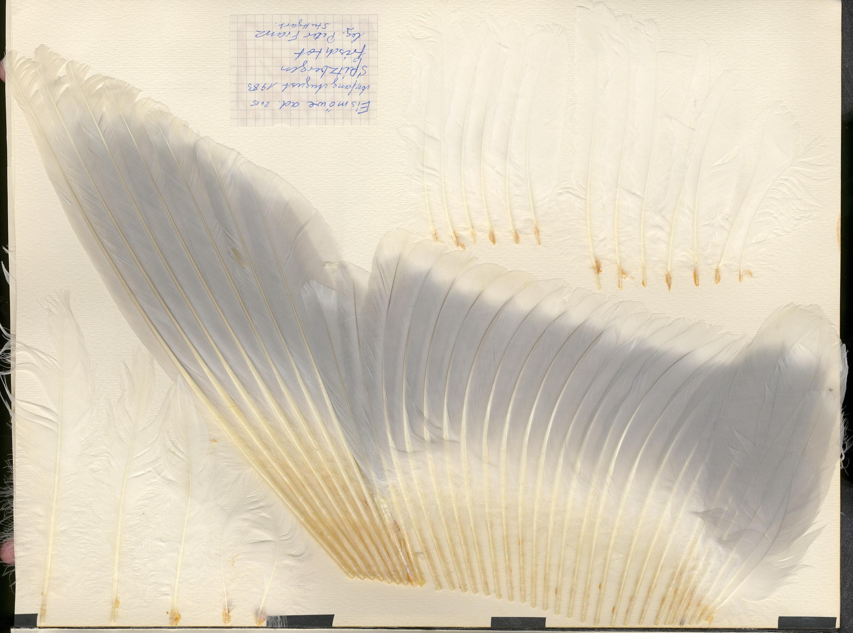 Glaucous Gull (Larus hyperboreus) - Feathers on featherbase.info 2e6258556d6