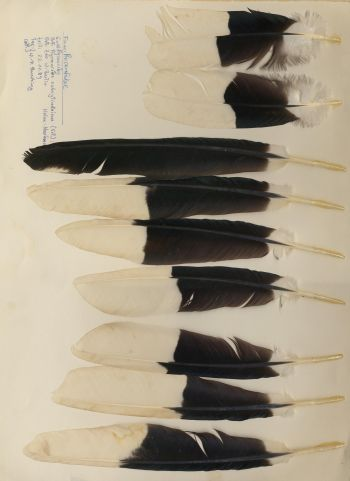Bild von Federn der Art Bycanistes subcylindricus (Grauwangen-Hornvogel)