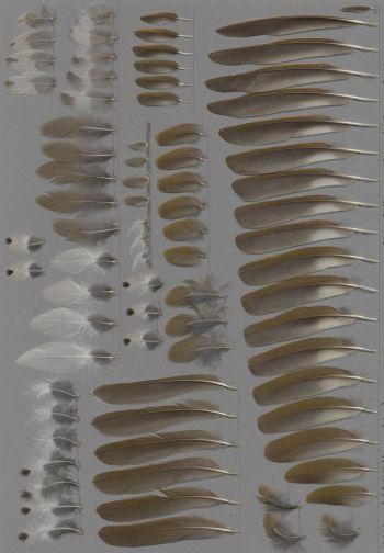 Federbeleg der Art Hylocichla mustelina
