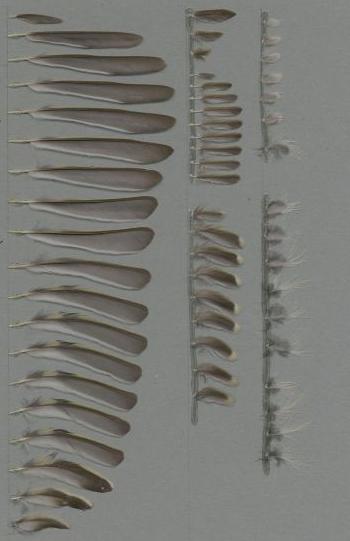 Federbeleg der Art Regulus calendula