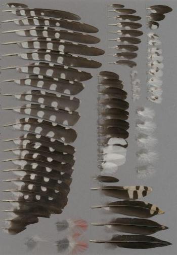 Federbeleg der Art Dendrocopos major