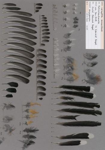 Federbeleg der Art Leioptila annectens