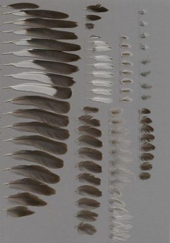 Federbeleg der Art Mimus polyglottos