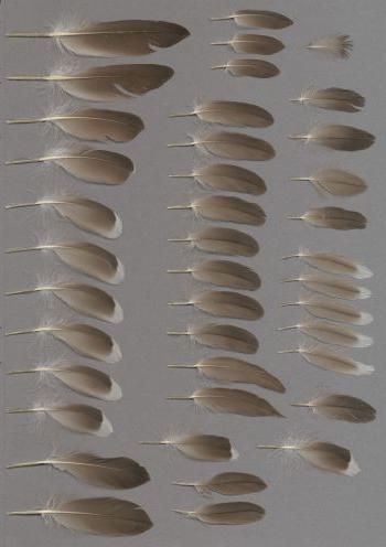 Federbeleg der Art Uria aalge