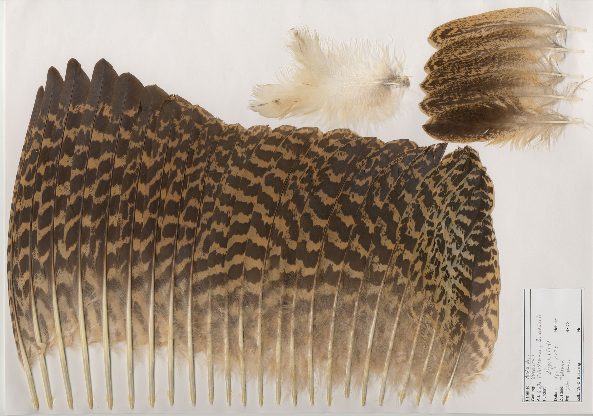 Great Bittern (Botaurus stellaris) - Feathers on featherbase.info 3d2a2e5ed28