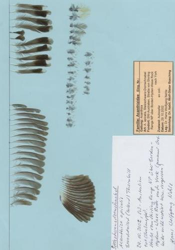 Bild von Federn der Art Acanthiza apicalis (Stelzschwanz-Dornschnabel)