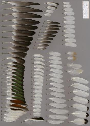 Bild von Federn der Art Tadorna tadorna (Brandgans)