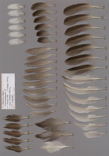 Bild von Federn der Art Somateria fischeri (Plüschkopfente)