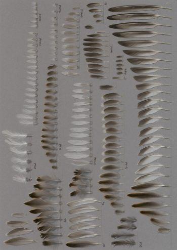 Bild von Federn der Art Calidris minuta (Zwergstrandläufer)