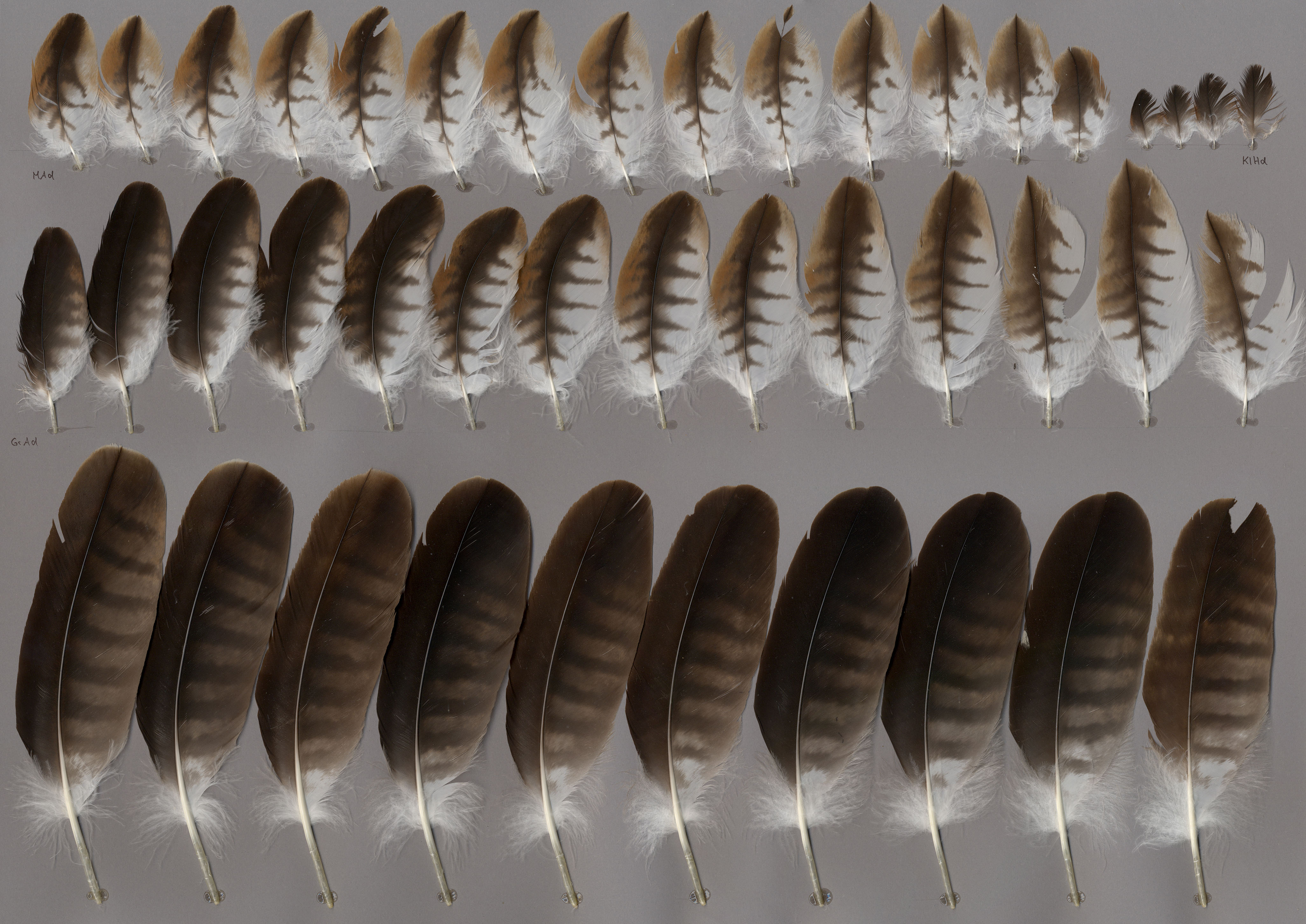 Milan royal (Milvus milvus) - Plumes sur featherbase.info 52ac177c236