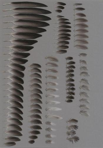 European Storm-Petrel (Hydrobates pelagicus) - Feathers on