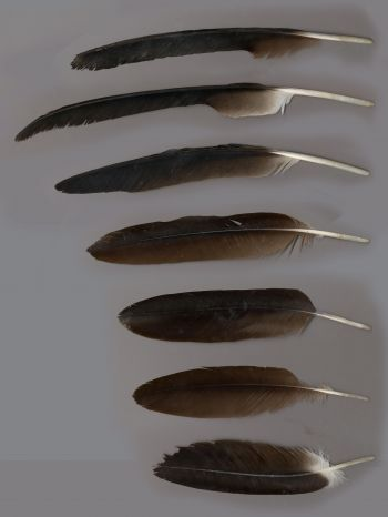 Exhibit of the species Aegypius monachus