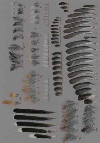 Exhibit of the species Leioptila annectens