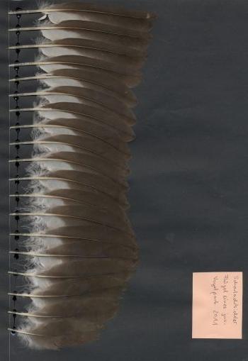Exhibit of the species Eudocimus ruber
