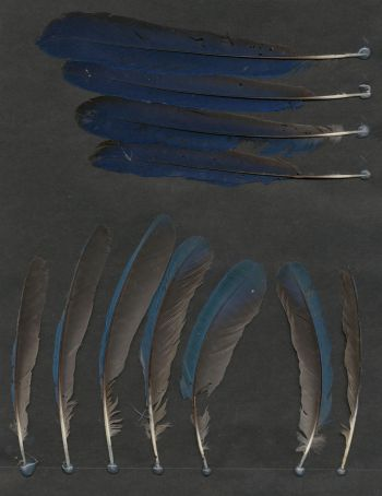 Exhibit of the species Cyanocorax sanblasianus