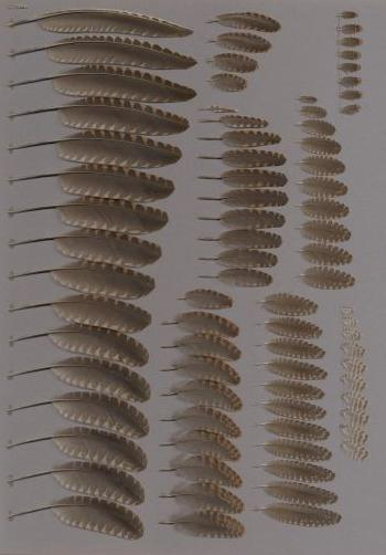 Exhibit of the species Scolopax rusticola