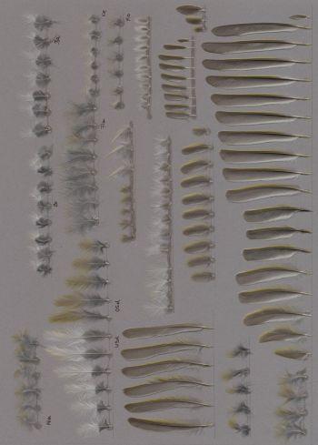 Exhibit of the species Phylloscopus sibilatrix