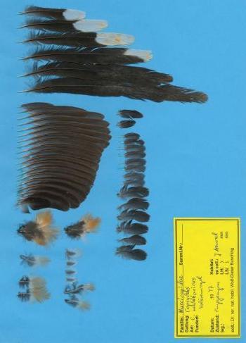 Federbeleg der Art Copsychus malabaricus