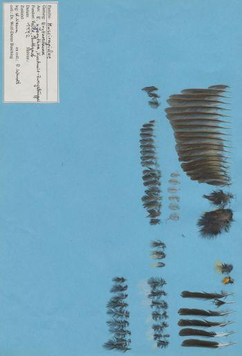 Exhibit of the species Ficedula hyperythra
