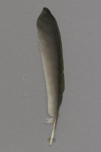 Federbeleg der Art Pteroglossus castanotis
