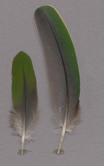 Exhibit of the species Ramphiculus occipitalis