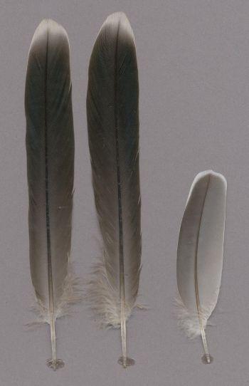 Exhibit of the species Ocyphaps lophotes