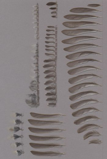 Federbeleg der Art Periparus ater