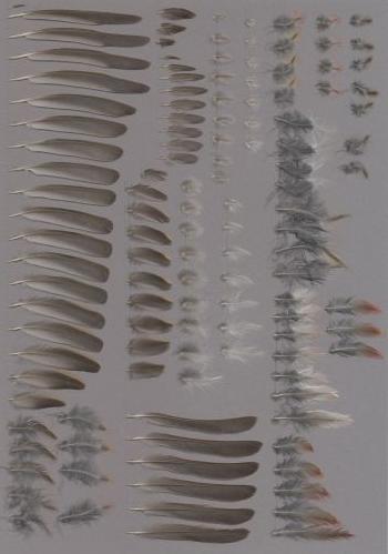 Exhibit of the species Carpodacus roseus