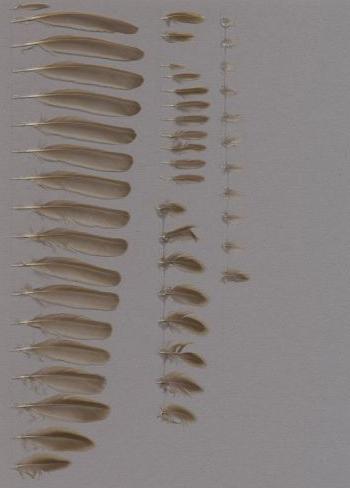 Exhibit of the species Locustella naevia