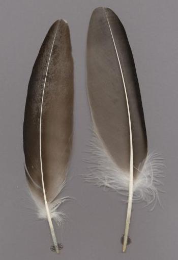 Exhibit of the species Gypaetus barbatus