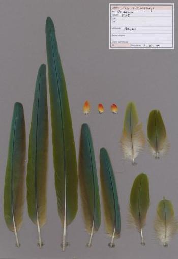 Exhibit of the species Ara rubrogenys