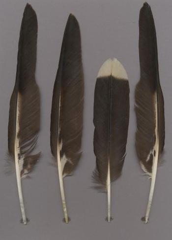 Exhibit of the species Phalcoboenus australis