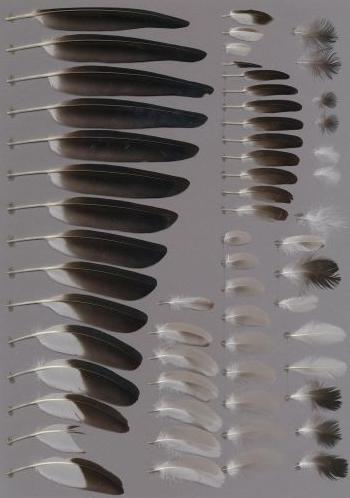 Exhibit of the species Vanellus armatus