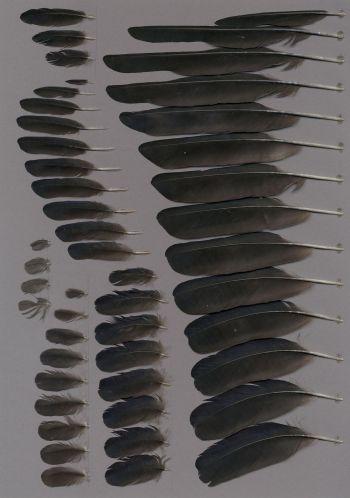 Exhibit of the species Corvus monedula
