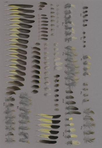 Exhibit of the species Spinus notata