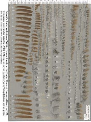 Exhibit of the species Acrocephalus palustris