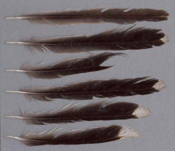 Bild von Federn der Art Anthochaera carunculata (Rotlappen-Honigfresser)