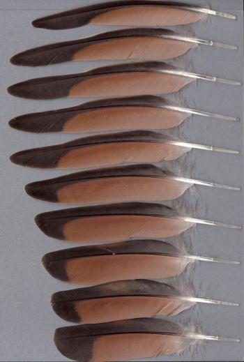Bild von Federn der Art Phaps elegans (Buschtaube)