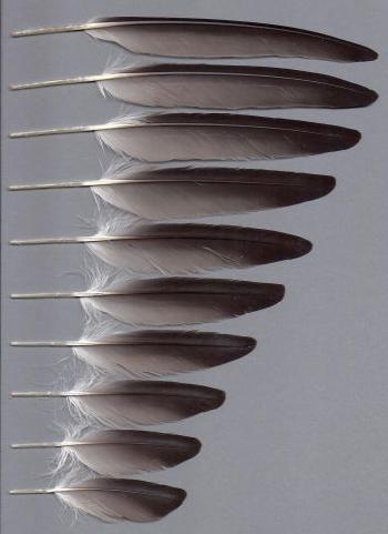 Bild von Federn der Art Puffinus tenuirostris (Kurzschwanz-Sturmtaucher)
