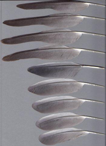 Bild von Federn der Art Eolophus roseicapilla (Rosakakadu)