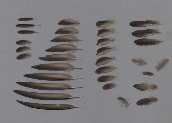 Bild von Federn der Art Apus affinis (Haussegler)