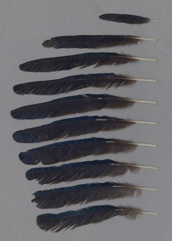 Bild von Federn der Art Lamprotornis caudatus (Langschwanz-Glanzstar)