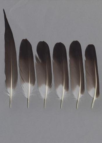 Bild von Federn der Art Stercorarius parasiticus (Schmarotzerraubmöwe)