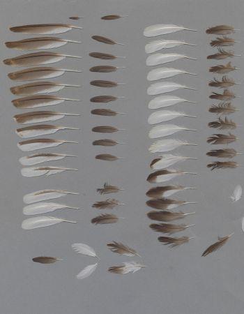 Bild von Federn der Art Podiceps nigricollis (Schwarzhalstaucher)