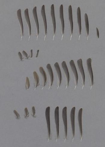 Bild von Federn der Art Poecile palustris (Sumpfmeise)