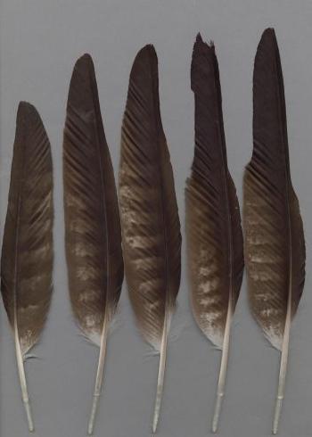 Bild von Federn der Art Milvus migrans (Schwarzmilan)