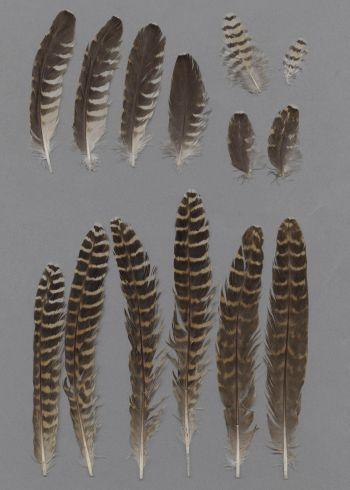 Exhibit of the species Eudynamys scolopaceus